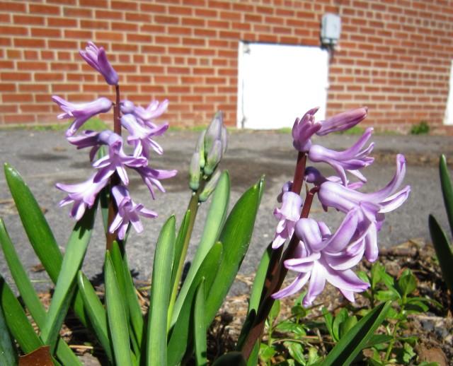 First hyacinths, March 7, 2011