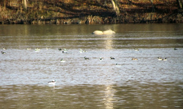 Big flock of buffleheads