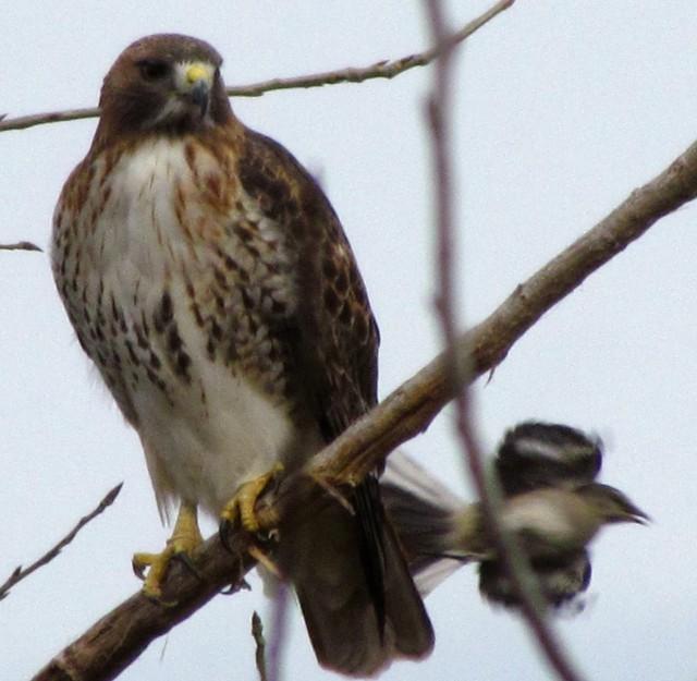 rrhawkbird2adj