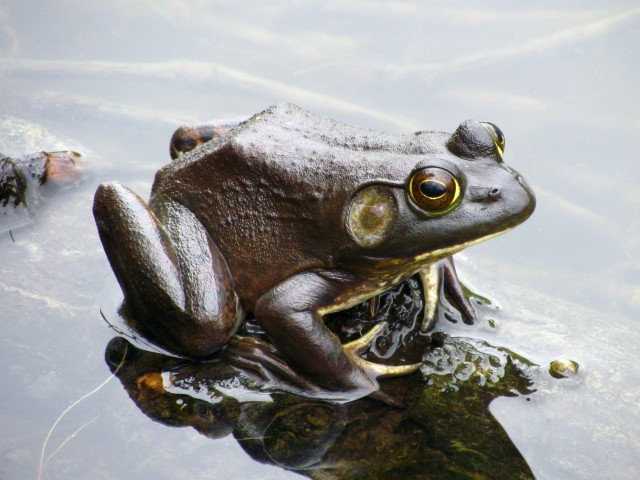 Best picture I've ever taken. Bullfrog, Bryan Park, Richmond, VA, April, 2013