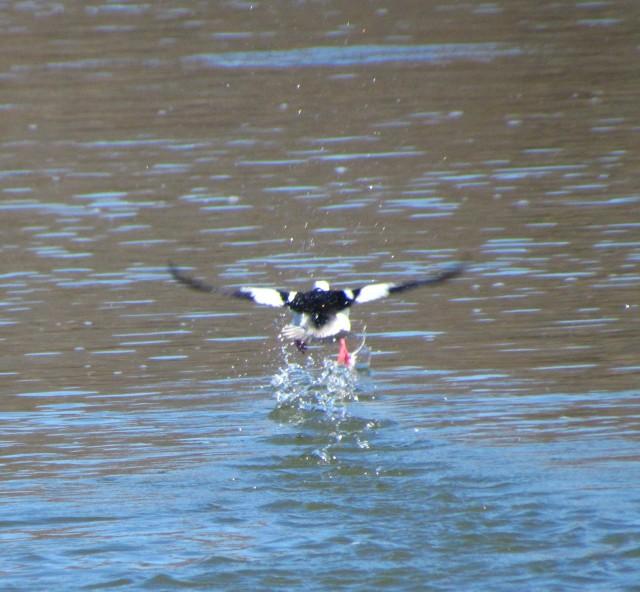 Bufflehead taking off