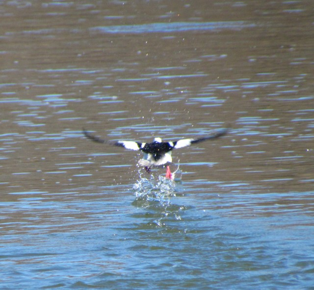 Bufflehead taking off