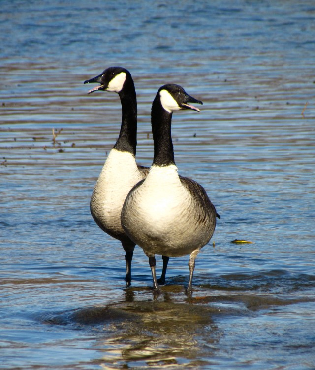 Honking Canada geese
