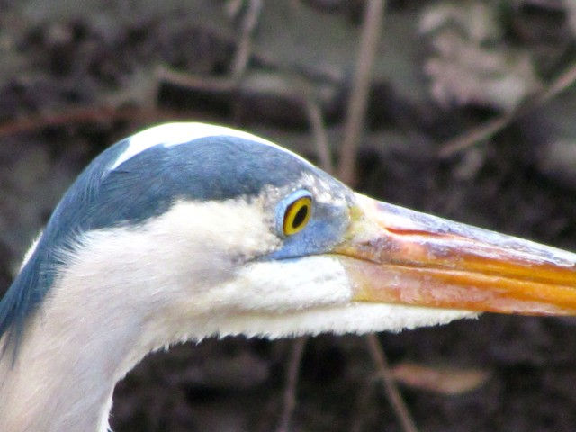 Heron eye. And head and partial beak.