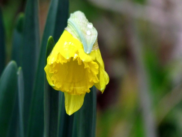 February daffodil at Pony Pasture