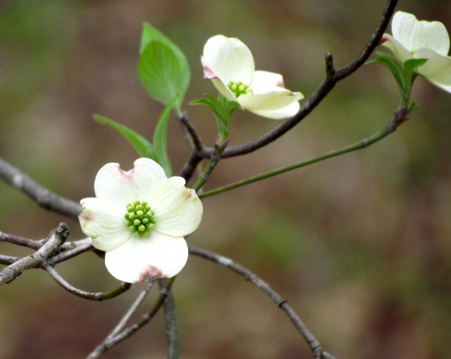 "A graceful dogwood at Bryan Park. ""Graceful"" may be one word too many before ""dogwood"" - they're all graceful."