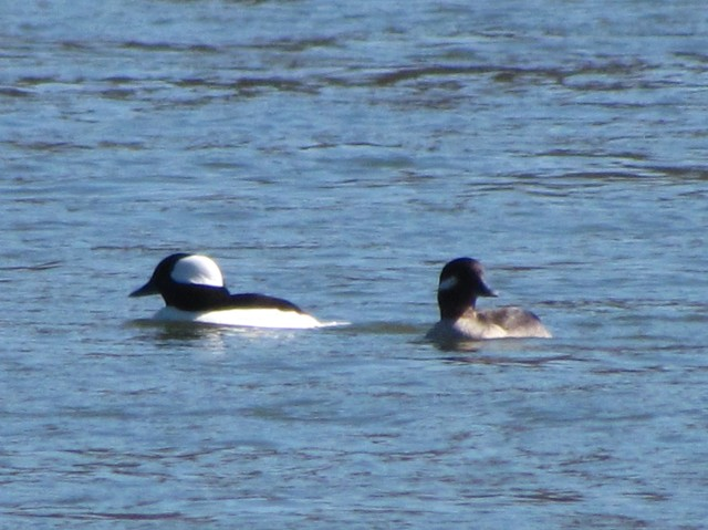 Handsome pair of buffleheads