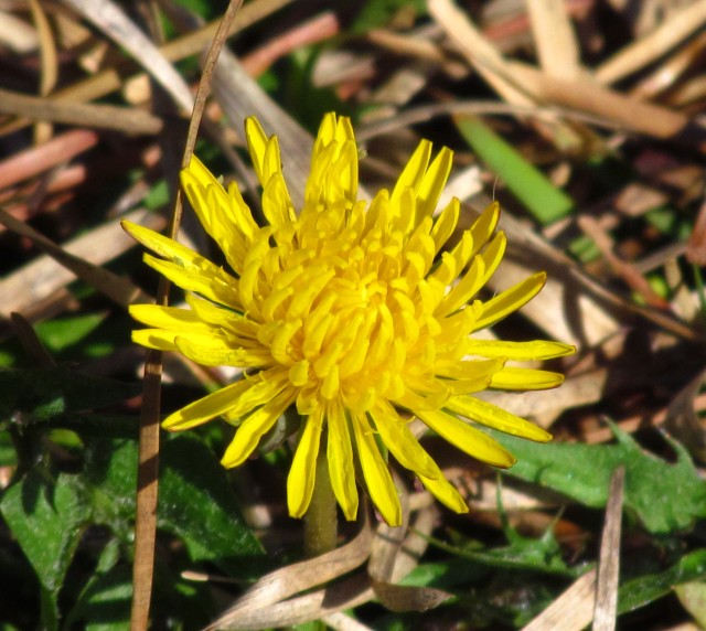 A smiling dandelion
