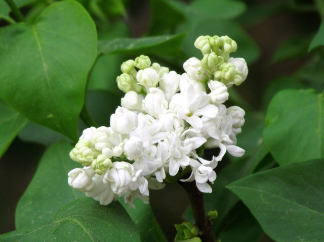 Delicious smelling and beautiful white lilac
