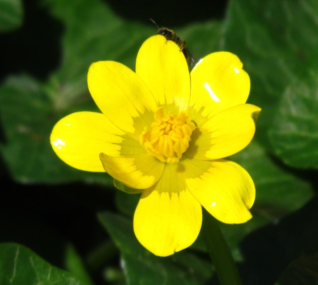 BRIGHT yellow flower with insect inspecting