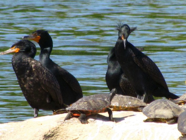 Cormorants and turtles at mid-river