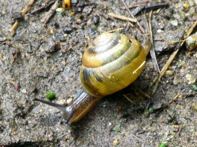 Pony Pasture snail