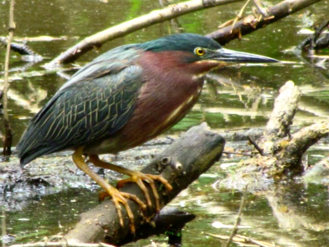 Green heron at Pony Pasture