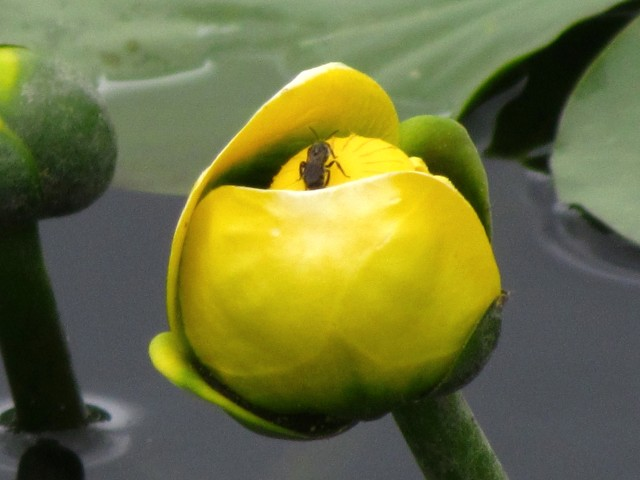 Bug exploring a lily pad flower
