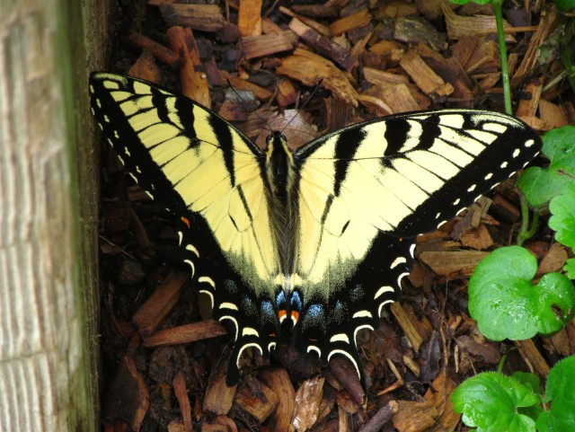 Beautiful female tiger swallowtail (females have blue on their wings)