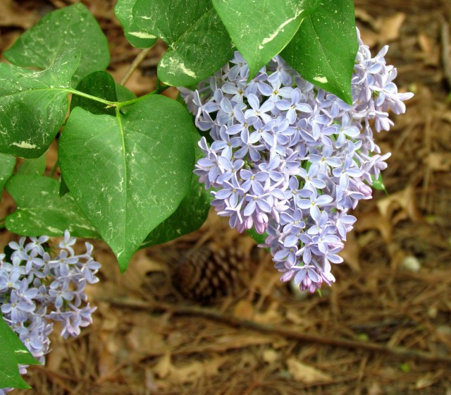 Equally spectacular purple lilac