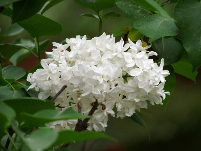 Spectacularly fragrant and spectacularly beautiful white lilac
