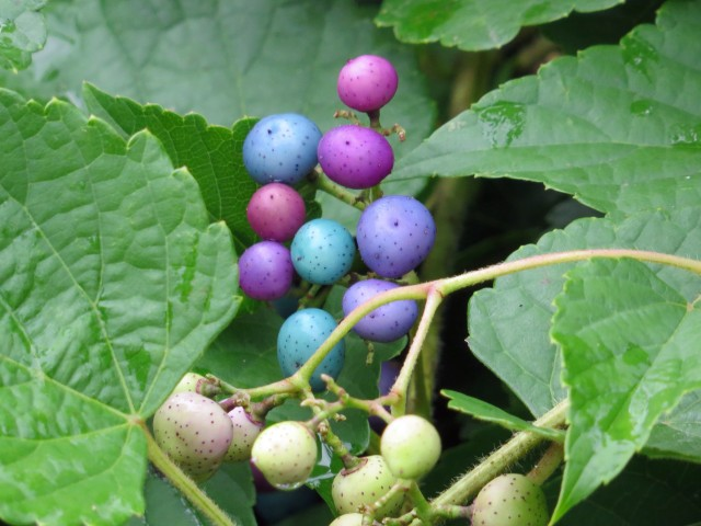Wild grapes maybe? They look like Easter Eggs.