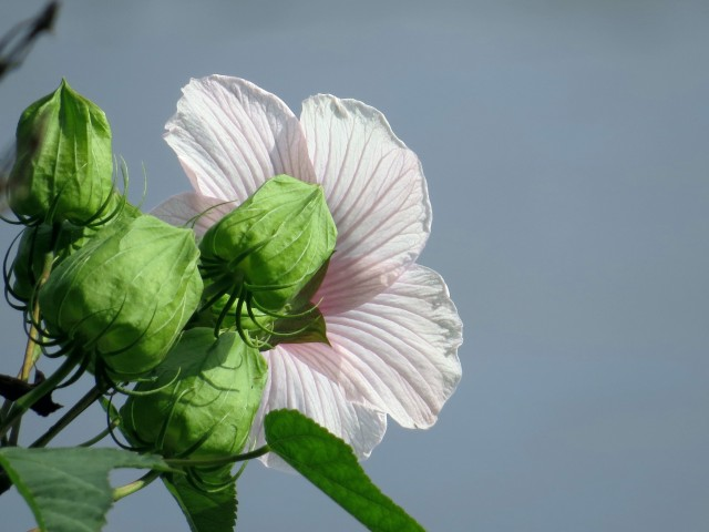 Marsh Mallow drinking up the sun on the river bank