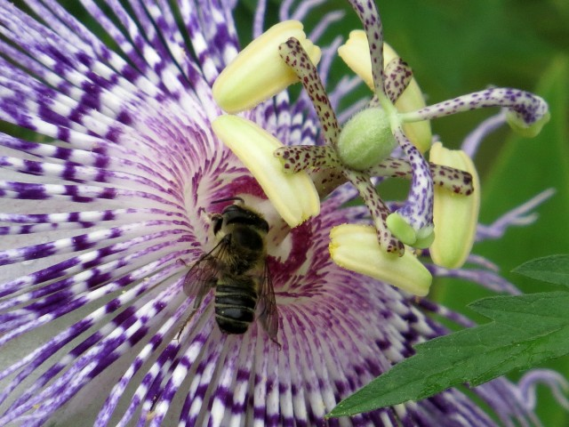 A bee on a passion flower
