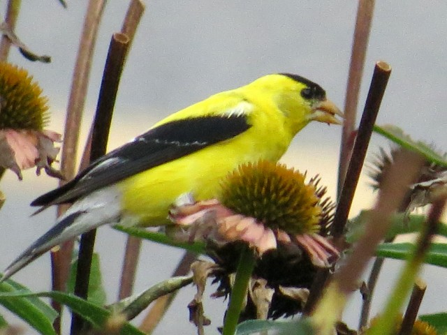 That's a goldfinch - isn't that just a pretty thing to see in the parking lot of a grocery store? So pleasant.