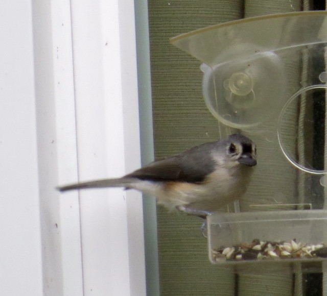 Handsome tufted titmouse (with a mouthful of sunflower seed)