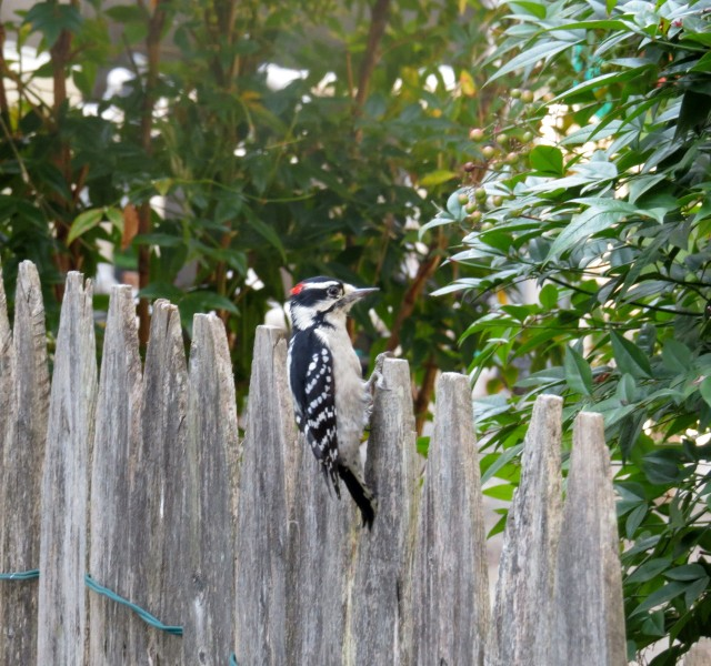 Handsome male downy woodpecker next to my driveway