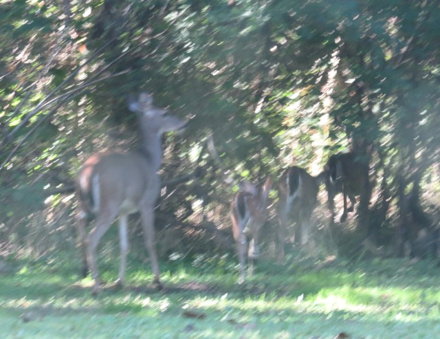 Embarrassingly poor quality, but what a sight. See the spotted fawn 2nd from rear? Mom in back?