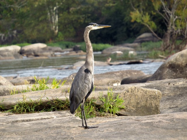 Great Blue Heron, Ardea herodias, Pony Pasture, James River, Richmond, VA, USA