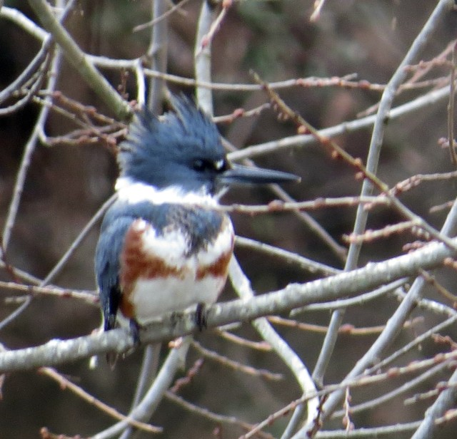 Gorgeous female belted kingfisher (Megaceryle alcyon)