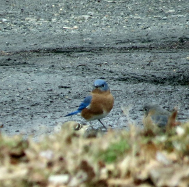 A beautiful bluebird - my Dad's favorite - Sialia sialis - in the parking lot at Pony Pasture