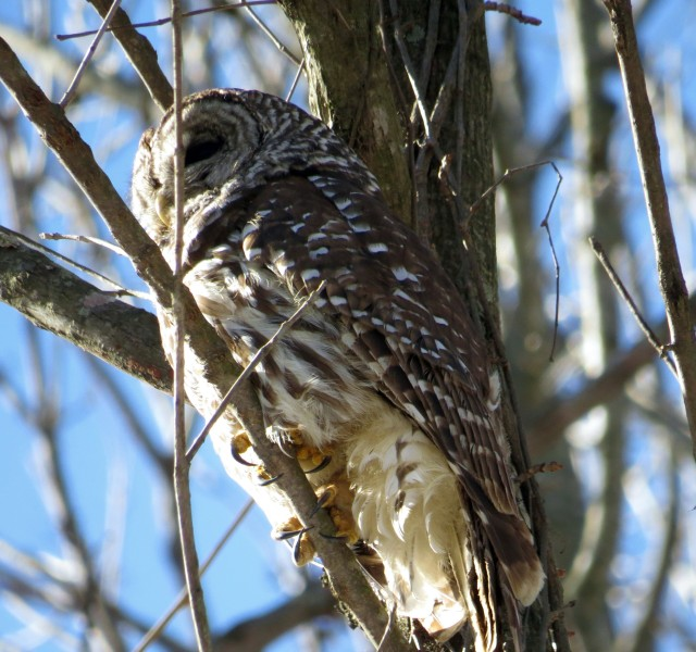 Barred Owl staying warm in January
