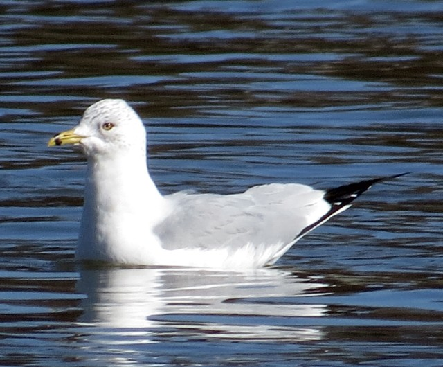 Ring-billed gull, floating high in the water