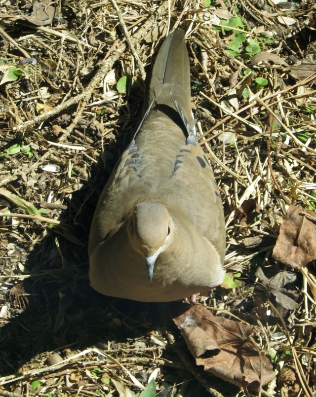 A very peaceful looking dove
