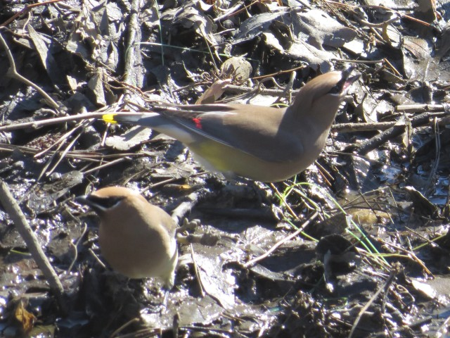 Cedar waxwings! Isn't that great? My first ones!