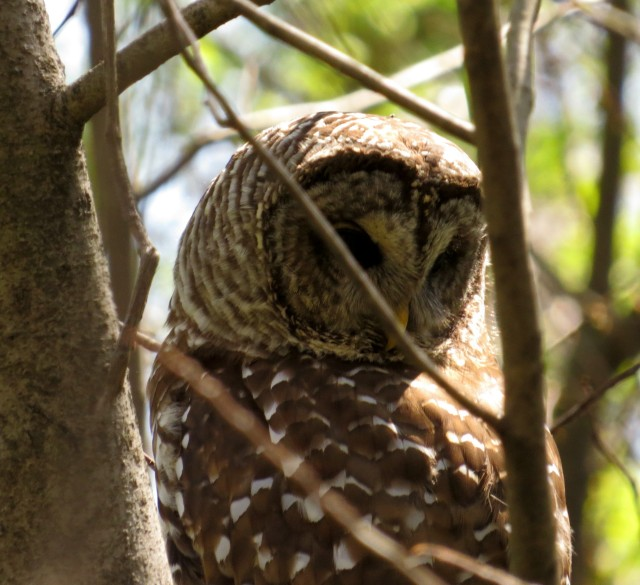The same owl a moment later. This was ~11:30 AM. Perhaps she was seeing potential lunch on the ground.