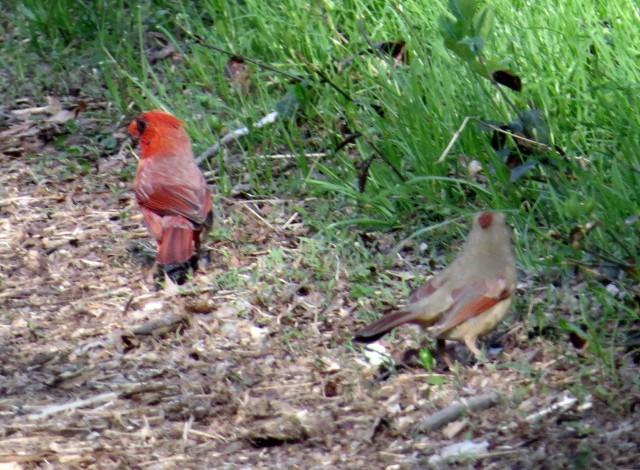 An elegant cardinal pair, ignoring us