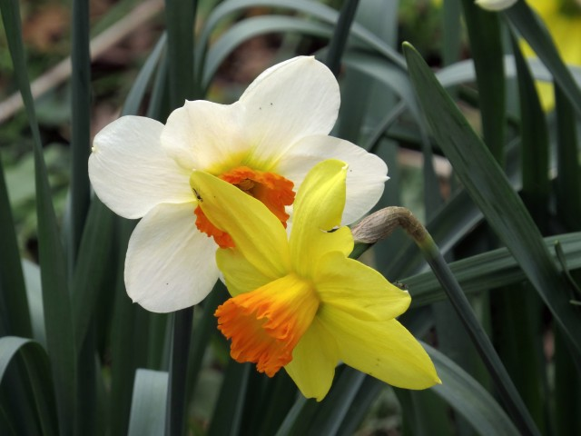 Few flowers proclaim spring as boldly as daffodils: