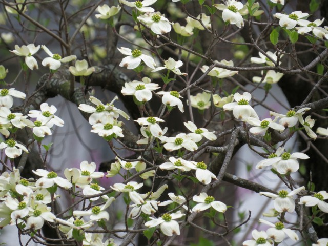A dogwood in our frontyard. One of Dad's two favorite trees.