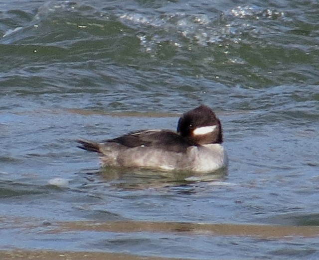 A beautiful female Bufflehead. She'll be many miles north by the time you read this.