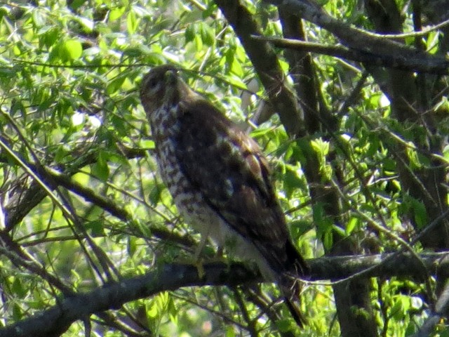 Probably a Red-shouldered hawk