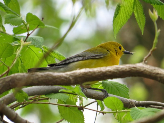 Prothonotary Warbler - I was lucky to get this picture!