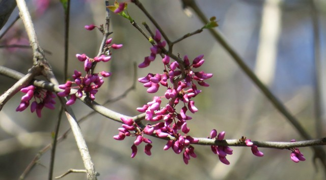 Redbuds on the verge of opening