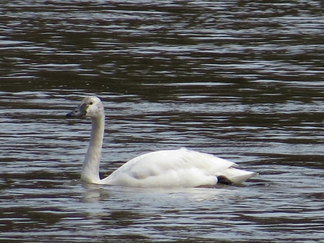 A single swan. I am ill-informed about swans.