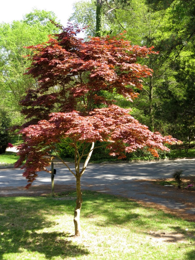Graceful red maple