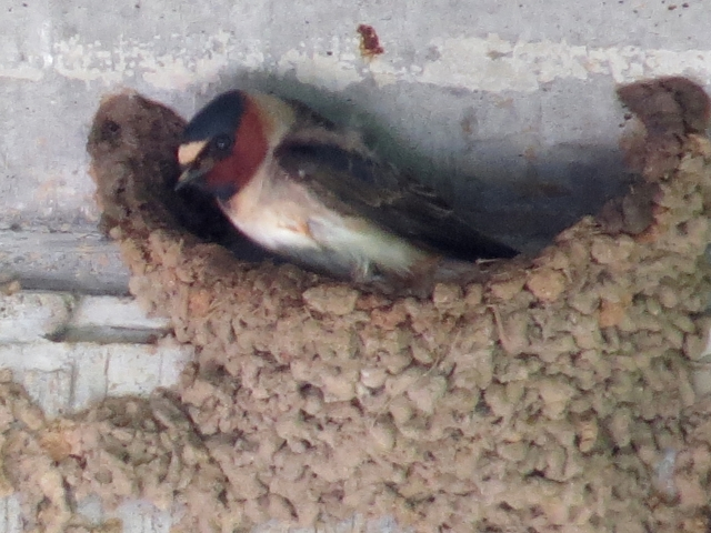 A Cliff Swallow on its well-constructed mud nest