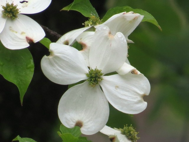 If I live to be a hundred I'll still smile every time I see a dogwood.