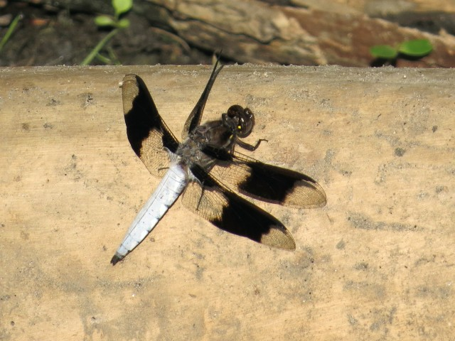 Same log, different dragonfly