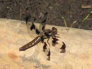 Female Whitetail Skimmer