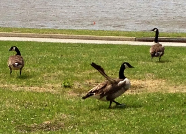 "Canada Goose with ""Angel wing."" Very odd."